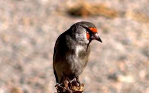 Europian Goldfinch (Chipa Dongmar)