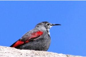 Wall Creeper