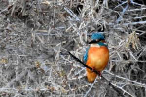 Common Kingfisher (Nyaza Chuon)