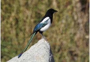 Eurasian / Black-billed Magpie