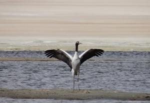 Black-necked Crane (Cha Thung Thung)