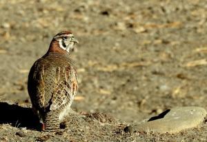 Tibetan Partridge (Dep sRak)