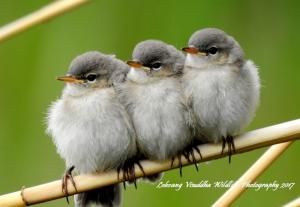 Chicks of Kashmir Chiff Chaff
