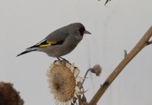 Europian Goldfinch