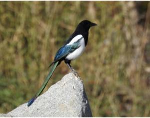 Eurasian / Black-billed Magpie
