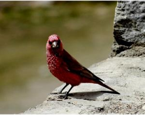 Great Rosefinch