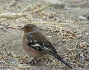 Common Chaff Finch