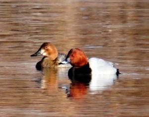 Common Pochard (Chub ja Gomar)