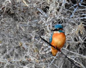 Common Kingfisher (Nyaza Chuon)