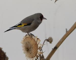 Europian Goldfinch