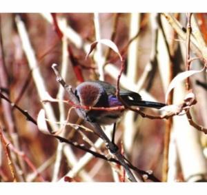 White-browed Tit Warbler