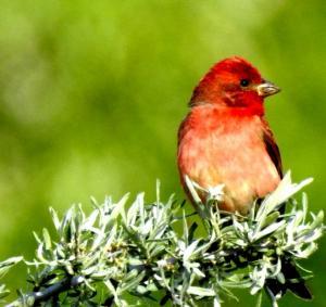 Common Rosefinch (Ichu Idmar)