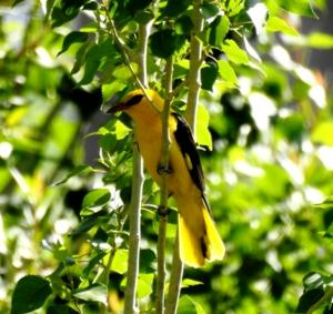 Golden Oriel (Zeri Mayon)