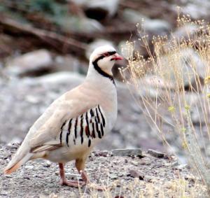Chukar Partridge (sRakpa)