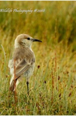 Humme's Ground Pecker