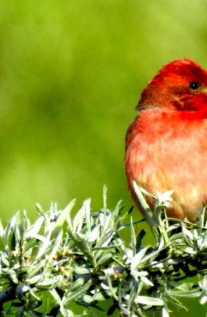 Common Rosefinch (Ichu Idmar)