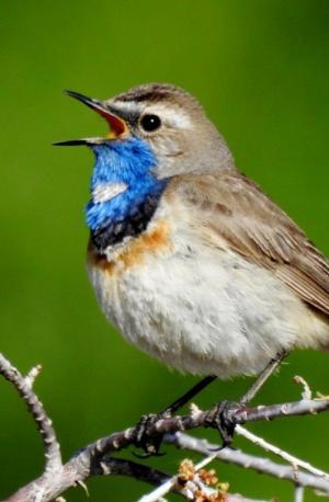 Blue-throat (Ogle sngonpo)