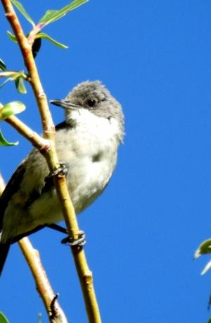 Great White-throat