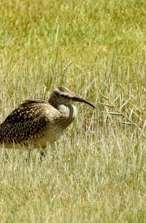 Whimbreal