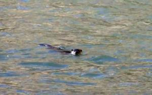 Eurasian Otter (Chu-sRam)