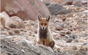 Red Fox (Waatsey)