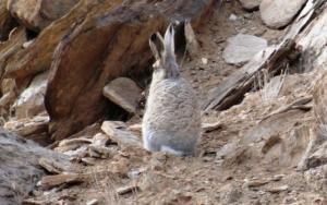 Woolly Hare (Ribong)