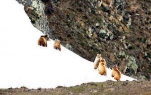 Himalayan Brown Bear (Denmo), Photo by Intesar Sohail