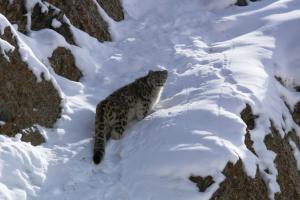 Snow Leopard   ( rChan)
