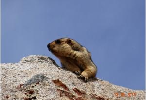 Himalayan Marmot (Phia)