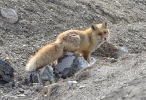 Red Fox ( Watsey)