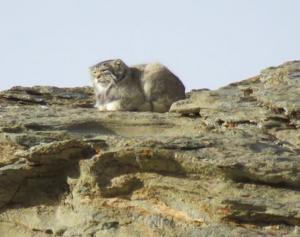 Pallas's Cat  (Ribilik)