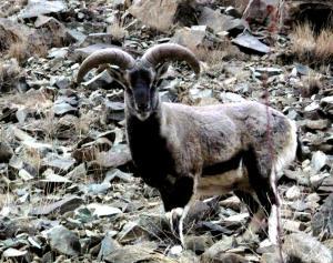 Blue Sheep / Bharal  (rNapo)