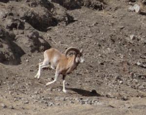 Ladakh Urial (Shapo)