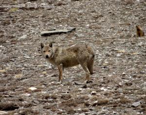 Himalayan Wolf ( Shang ku)