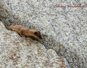 Himalayan Weasel (Lakirmo)