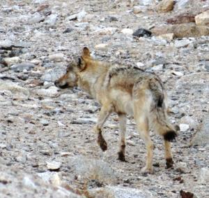 Tibetan or Himalayan Wolf ( Shangku)