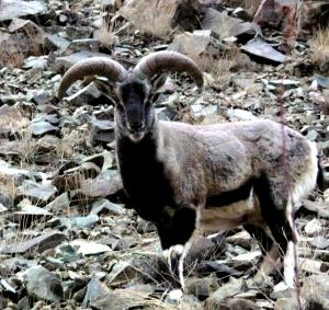 Blue Sheep / Bharal  (rNapo)