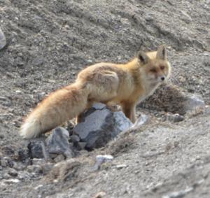 Red Fox ( Watsey)