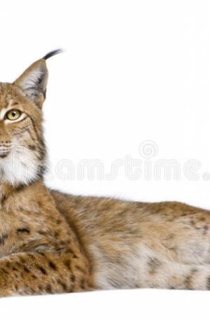 Eurasian Lynx (lynx lynx)  Ee