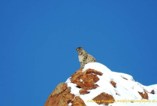 International Day of Snow Leopard